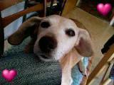 Dackel-Beagle Mix 13 Jahre alt