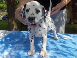 Dalmatiner Welpen von Champion Eltern zum Verkauf