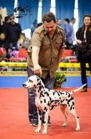 Foto 2 Dalmatiner Welpen von Champion Eltern zum Verkauf