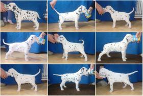 Foto 3 Dalmatiner Welpen mit Papiere