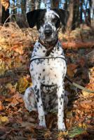 Foto 2 Dalmatinerrüde sucht seine Menschen!