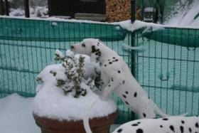 Foto 3 Dalmatinerrüde w/b 4 Monate alt