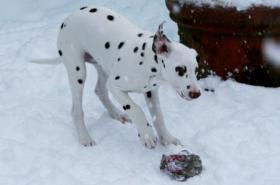 Foto 4 Dalmatinerrüde w/b 4 Monate alt
