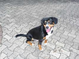 Foto 2 Deckmeldung/Wurfankündigung Entlebucher Sennenhund Welpen