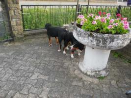 Foto 3 Deckmeldung/Wurfankündigung Entlebucher Sennenhund Welpen