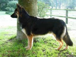 Foto 2 Deckrüde Altdeutscher Schäferhund, interessanter Stammbaum, HD-A1
