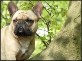 Foto 2 Deckrüde: Französische Bulldogge
