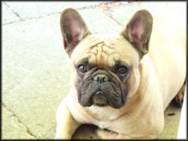 Foto 4 Deckrüde: Französische Bulldogge