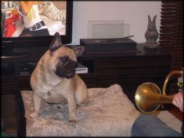 Foto 6 Deckrüde: Französische Bulldogge