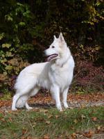 Foto 4 Deckrüde - weißer Schäferhund