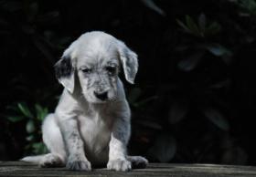 Foto 2 Der Setter ist ein wunderbarer Familienhund. Am liebsten ist er immer ''mittendrin''! Einfach bei seiner Familie. Auch Kinder liebt er über alles. Er liebt lange Spaziergänge. Zwingerhaltung ist für diesen sensiblen Hund das schlimmste.