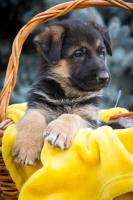 Foto 3 Deutsch Schäferhund Welpen von Champion Herkunft zu verkaufen