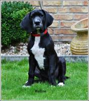 Foto 4 Deutsche Dogge