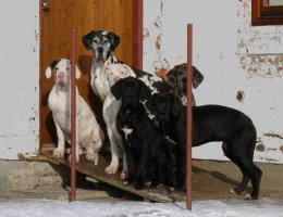 Deutsche Dogge mit Papiere aus Züchterstation