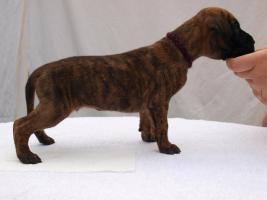 Foto 3 Deutsche Dogge mit Stammbaum Welpen