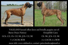 Foto 4 Deutsche Dogge mit Stammbaum Welpen