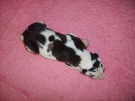 Foto 6 Deutsche Dogge Welpen mit VDH / FCI Pap. Eltern HD/ED frei
