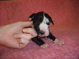 Foto 7 Deutsche Dogge Welpen mit VDH / FCI Pap. Eltern HD/ED frei