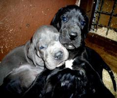 Foto 3 Deutsche Dogge Welpen lackschwarz