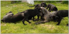 Deutsche Dogge Welpen zu verkaufen
