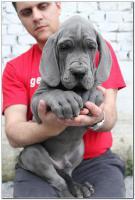 Foto 7 Deutsche Dogge Welpen zu verkaufen