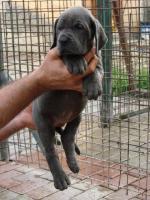 Foto 2 Deutsche Dogge blau Welpen mit Papiere