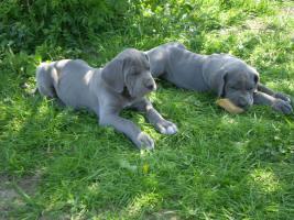 Deutsche Dogge zwei letzte blau Welpen