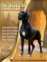 Deutsche Dogge - Welpe - Hündin mit Ahnentafel und Pet-pass