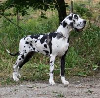 Foto 2 Deutsche Dogge - Welpe - Hündin mit Ahnentafel und Pet-pass