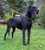 Deutsche Dogge, schwarze Hündin 7 Jahre alt - Scheidungsopfer