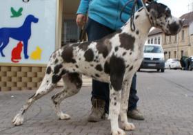 Foto 2 Deutsche Doggen Hündin gefleckt, 7 Monate