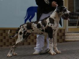 Foto 3 Deutsche Doggen Hündin gefleckt, 7 Monate