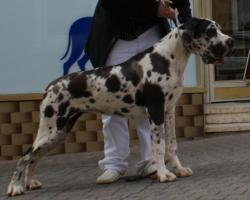 Foto 4 Deutsche Doggen Hündin gefleckt, 7 Monate