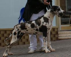 Foto 5 Deutsche Doggen Hündin gefleckt, 7 Monate