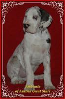 Foto 3 Deutsche Doggen Welpen