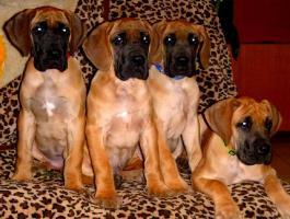 Deutsche Doggenwelpen