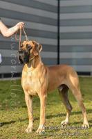 Foto 4 Deutsche Doggenwelpen