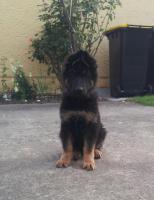 Foto 2 Deutsche Schäferhund Welpen