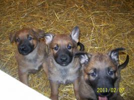 Deutsche kräftige Schäferhundewelpen zu verkaufen