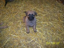 Foto 2 Deutsche kräftige Schäferhundewelpen zu verkaufen