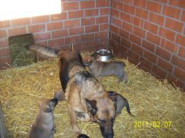 Foto 3 Deutsche kräftige Schäferhundewelpen zu verkaufen