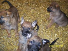 Foto 5 Deutsche kräftige Schäferhundewelpen zu verkaufen