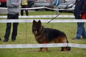 Foto 3 Deutscher Langstockhaar Schäferhund zum Verkauf