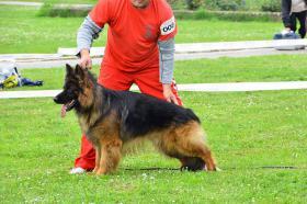 Foto 4 Deutscher Langstockhaar Schäferhund zum Verkauf