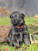 Foto 2 Deutscher Schäferhund Welpen mit Papiere
