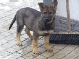 Foto 3 Deutscher Schäferhund Welpen - 2 lezte frei Hündinen
