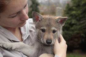 Die Wulpen der Tschechoslowakischer Wolfhund