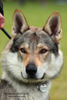 Foto 3 Die Wulpen der Tschechoslowakischer Wolfhund