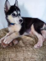 Foto 3 Die letzten drei Welpen von Siberian Husky suchen ein neues Zuhause.