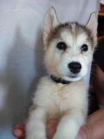 Foto 4 Die letzten drei Welpen von Siberian Husky suchen ein neues Zuhause.